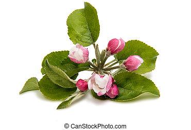 Flowers of an apple tree