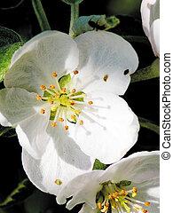 Flowers of an apple-tree