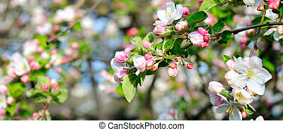 Flowers of an apple tree. Shallow depth of field. Wide photo.