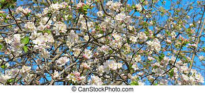Flowers of an apple tree. Wide photo
