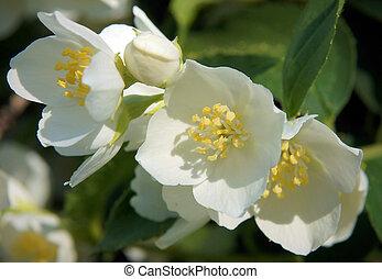 Flowers of an English dogwood
