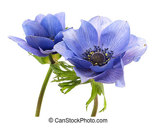 flowers of anemone