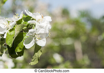 Flowers of apple against the blue sky