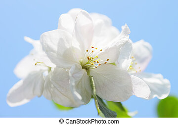 Flowers of apple on a blue background