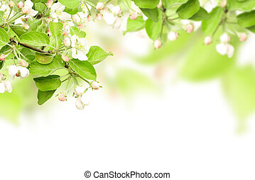 Flowers of apple - isolated over white