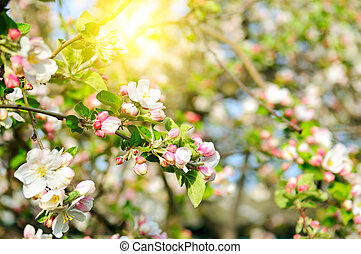 Flowers of apple tree and bright sun. Shallow depth of field. Focus on the front flowers.