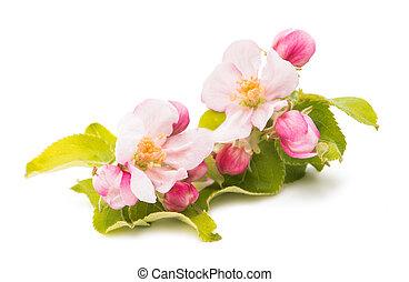 flowers of apple tree isolated