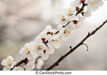 Flowers of apricots in the snow