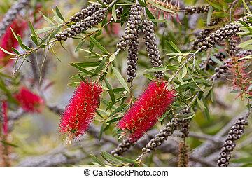 Red Bottlebrush Flower - Flowers of Australian, Red ...
