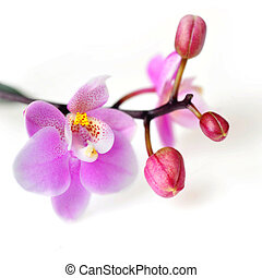 Flowers of beautiful orchid isolated