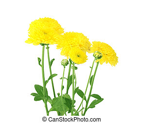 flowers of calendula yellow with green leaves isolated on white background