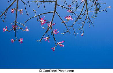 flowers of Ceiba speciosa, silk floss tree