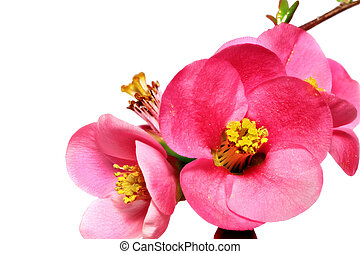 Flowers of Chaenomeles Japonica (Japanese Quince) blossoming...