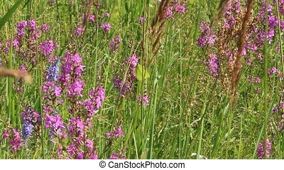 Flowers of Chamaenerion angustifolium blooming in summer field. Closeup