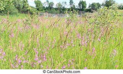 Flowers of Chamaenerion angustifolium blooming in summer field near lake