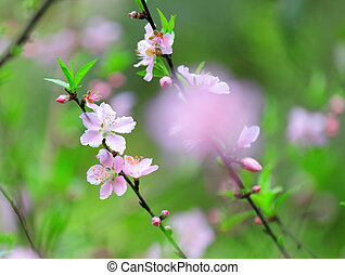 Flowers of cherry blossoms on spring day