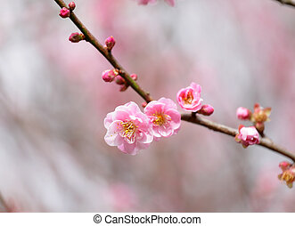 Flowers of cherry blossoms