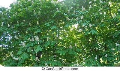 Flowers of chestnut trees - Horse chestnut trees white...