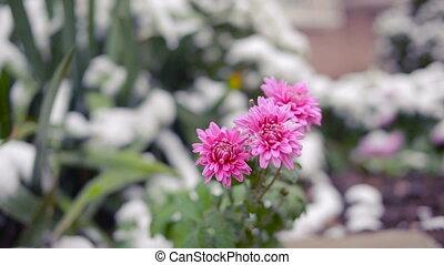 Flowers of chrysanthemum under first snow - Chrysanthemum...
