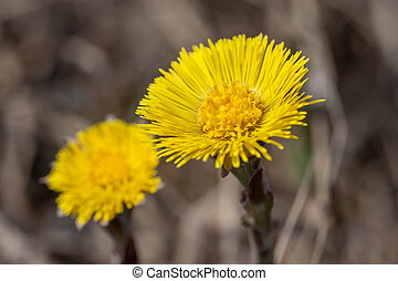 coltsfoot close up in the spring
