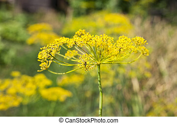 Flowers of dill in the garden