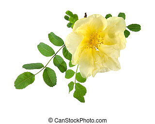 flowers of Dog Rose, isolated on a white background. Rosa...