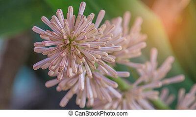 Flowers of Dracaena fragrans are blossom - Cape of Good Hope...