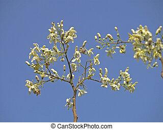 Flowers of Drumstick Tree, Moringa oleifera syn. M. pterygosperma F Moringacea