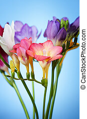 Flowers of freesia on a blue background