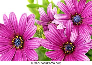 Flowers of Gazania. (Splendens genus asteraceae).