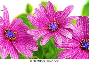 Flowers of Gazania with drops. (Splendens genus asteraceae).Isolated