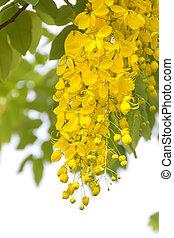 Flowers of Golden Shower Tree bloom in summer
