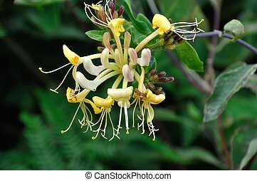 Flowers of honeysuckle