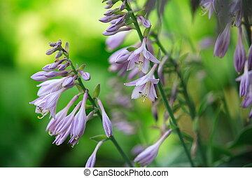 Flowers of hosta