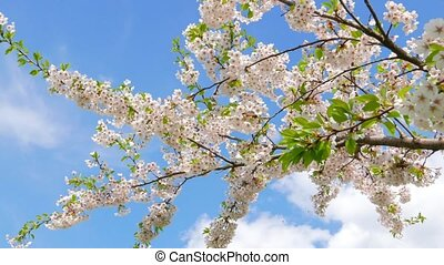 Flowers of Japanese sakura against the blue sky