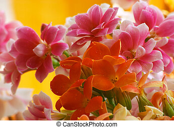 Flowers of Kalanchoe