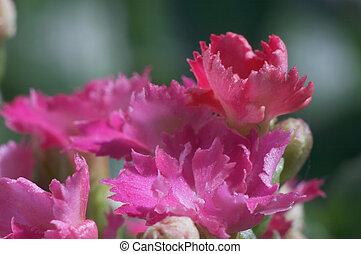 Flowers of Kalanchoe - Pink dentate Kalanchoe