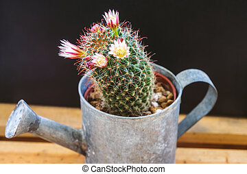 Flowers of Mammillaria capensis cactus are blooming in early morning
