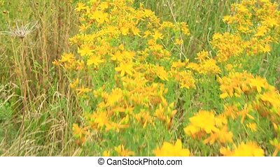 Medicinal flowers of St. John's wort with foliage - Flowers...