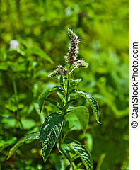 Flowers of mentha piperita