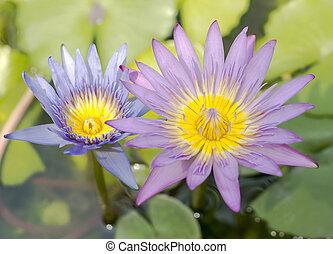 Flowers of nenuphar