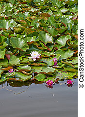 Flowers of nenuphar (Nymphaea) with leaves