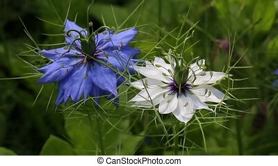 Flowers of Nigella - These flowers are always beautiful and...