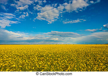 Flowers of oil in rapeseed field with blue sky and clouds.