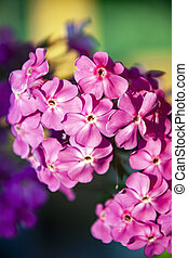 Flowers of perennial pink Phlox close-up in the evening sun. Phlox is a genus of beautiful-flowering herbaceous plants in the Cyanaceae family (Polemoniaceae).