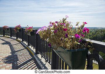 Flowers of petunia in Vladimir city