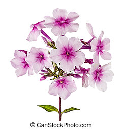 Flowers of phlox, isolated on white background