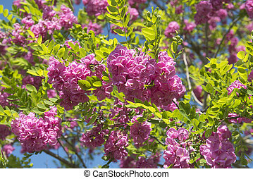 pink acacia - flowers of pink acacia in a day of spring
