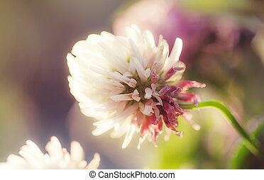 Flowers of pink clovers, natural summer background, toned image, selective focus, shallow depth of field