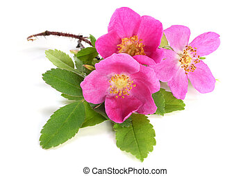 Flowers of pink dog rose with leaves
